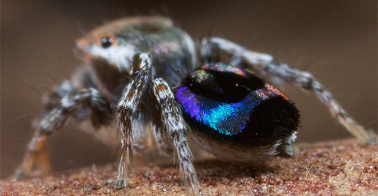 How nano 3D printing helps to investigate peacock spider's rainbow display
